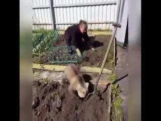 В России и картошку сажают с медведями!