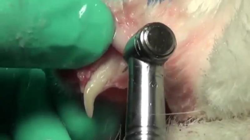 Mandibular Quadrant Extraction in a Cat with Feline Stomatitis