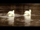 П.И.Чайковский - Русский танец из балета Лебединое озеро на гуслях!! Лебеди РЕАЛЬНО танцуют