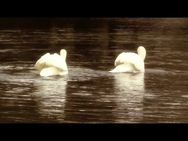 Чайковский - Лебединое Озеро на... гуслях!! Лебеди РЕАЛЬНО танцуют под музыку!
