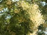 Мария Пахоменко Белой акации гроздья душистые