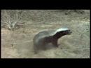 Медоед - самый безбашенный зверь
