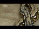 Самая большая в мире змея.Гиганты мира животных Nat geo wild документальные фильмы