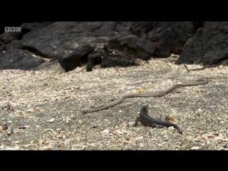 Детёныш игуаны убегает от змей