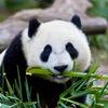 Panda Tur