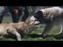 Алабай собачьи бои