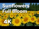 [4K]広島 世羅高原農場のヒマワリ Sunflower in full bloom Sera Kogen Farm in Hiroshima 広島観光 満開のひま 124