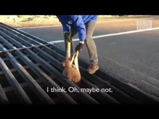 Kangaroo Stuck In A Cattle Grate