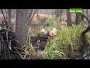 Охота на бобра с лайками
