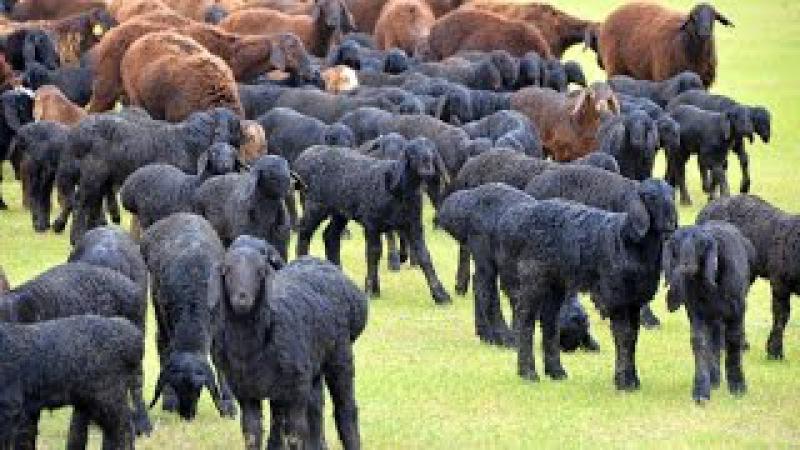 Гиссарские овцы племенного кооператива Дилшод Б