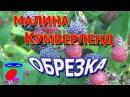Малина Кумберленд Обрезка