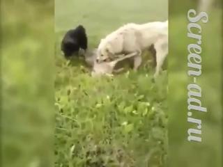 В Дагестане алабай спас стадо овец от волка