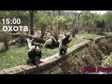 Распорядок дня панды