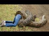 Snake eats man - Giant Python - Giant Anaconda