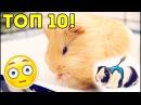 Смешные морские свинки Funny guinea pigs Приколы