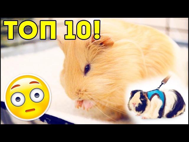 Смешные морские свинки | Funny guinea pigs | Приколы