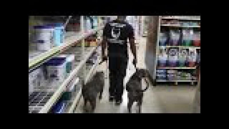 На что способны обученные питбули. Сила! / That is capable of trained pitbulls. Power! » Freewka.com - Смотреть онлайн в хорощем качестве