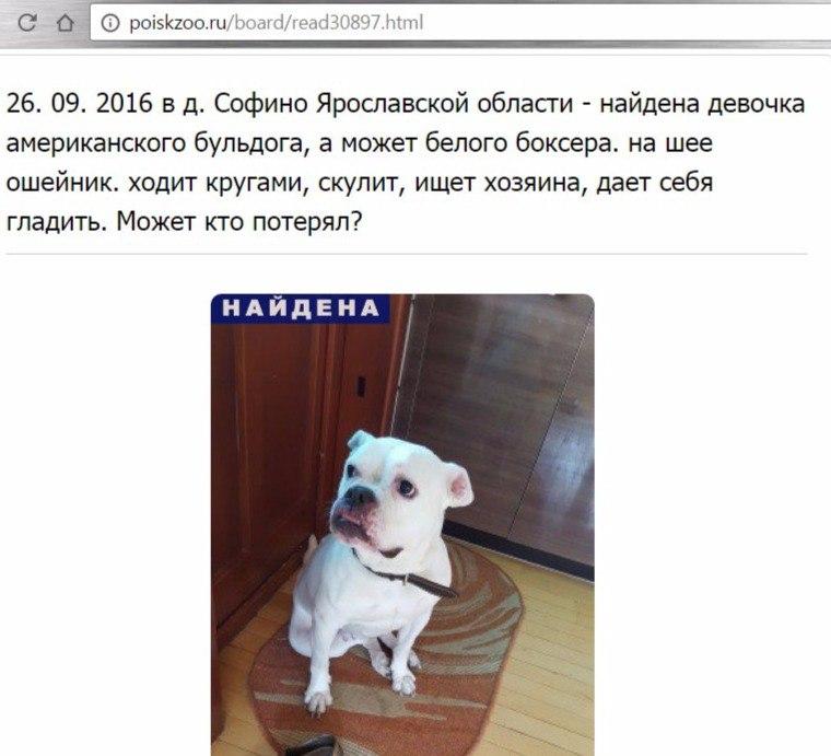 Москва, Мишель, сука, американский бульдог Dp0r5gfGOKo