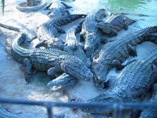 Крокодиловая ферма. Остров Джерба.
