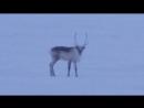 Самец-красавец дикого островного северного оленя - встреча