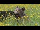 Бурые медведи Карпатские леса и горы Документальные фильмы National Geographic Nat Geo WILD HD