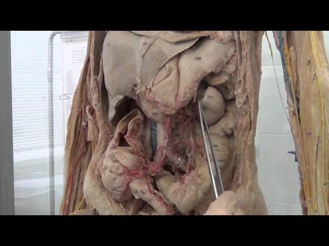 Артерии брюшной полости
