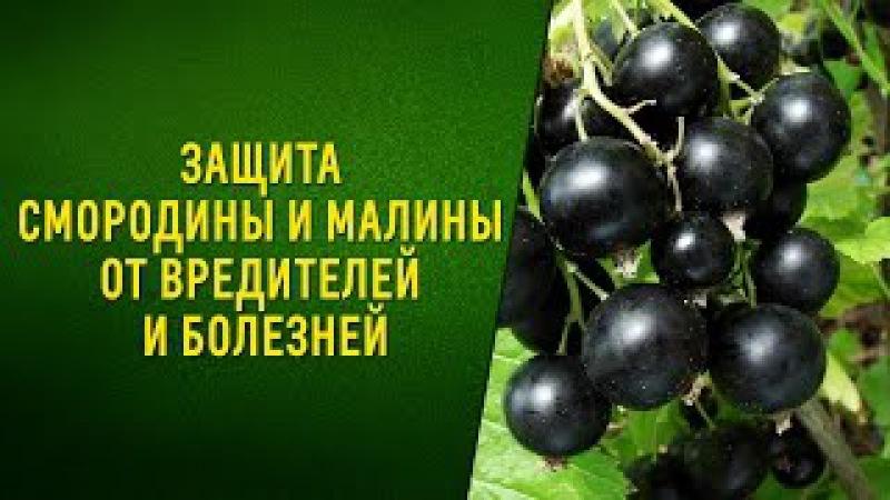 Защита смородины и малины от вредителей и болезней