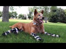 A Medical Miracle Gives New Life To This Amazing Bionic Dog!