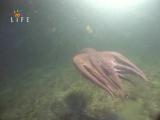 Тайны, что скрывает океан Fifth Dimension 2004. Гиганский Осминог