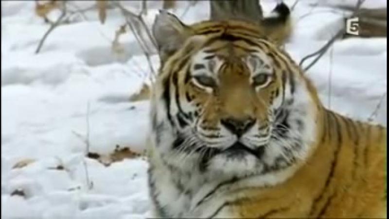 Cinq ans parmi les tigres de Sibérie.mp4- фрагмент.mp4 (Нюра и Алмаз)