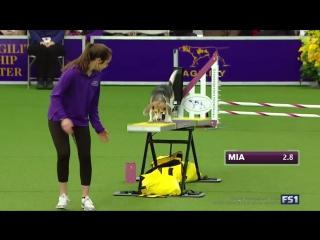Очаровательная собака породы бигль прекрасно провёла время и вдоволь похулиганила на собачьей выставке