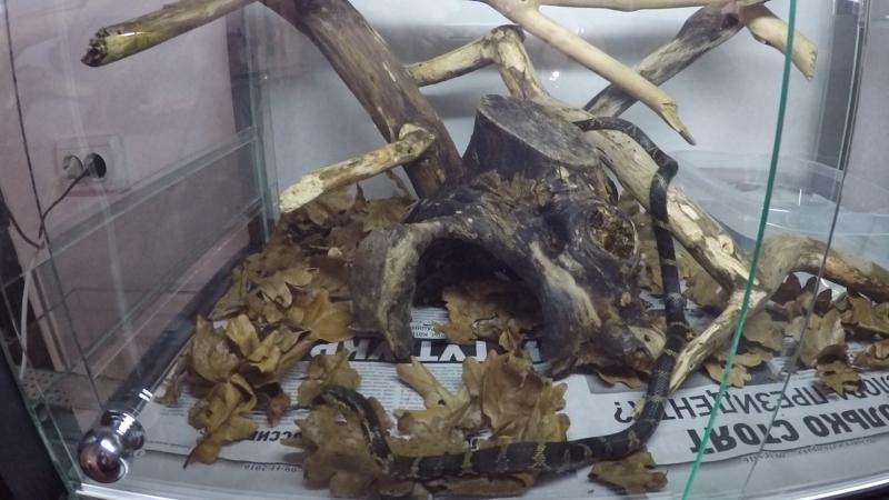 Амурский полоз ( Elaphe schrenkii )♂ Террариум 75х50х50