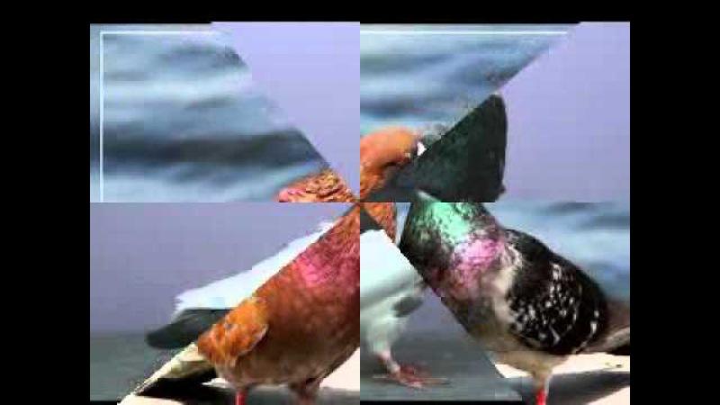 Красивые и декоротивные голуби