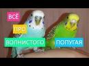 Волнистый попугай Всё самое интересное про жизнь волнистых попугаев