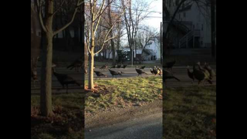 Turkeys try to give cat 10th life
