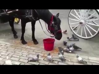أنظروا إلى الحصان كيف يخرج الحبوب على الأرض إلى الحمام - مشهد تعجز معه كلمات الرحمة بين الحيوانات
