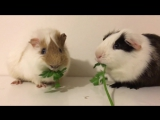 The_Guinea_Pig_Show-_Parsley_eating_competition