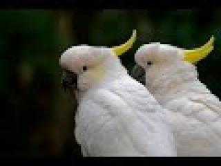 Дикие попугаи. Австралия
