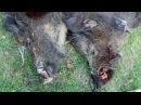 Охота на кабана в Европе, Словакия. Интересное видео.