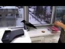 Ворона воровка