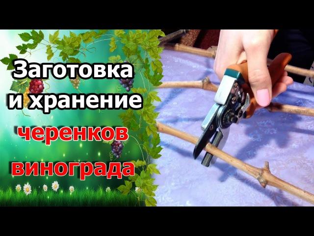 🍇Как заготовить черенки винограда. Заготовка лозы для черенков. Хранение виноградной лозы.