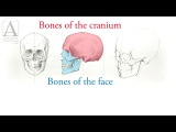 How to Draw a Skull - Anatomy Master Class for figurative artists