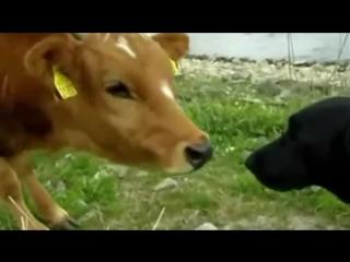 Песня про корову
