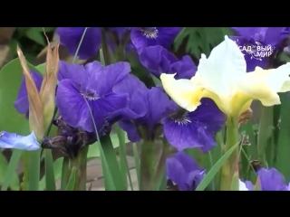 Неприхотливые садовые цветы Ирис сибирский...
