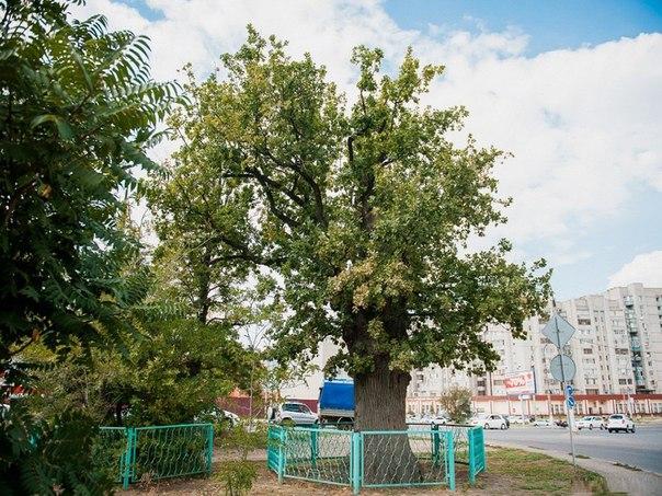 Дуб Петра I в Астрахани