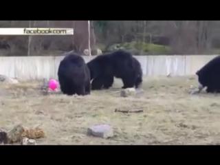 Воздушный шар свел с ума гималайских медведей в Голландии