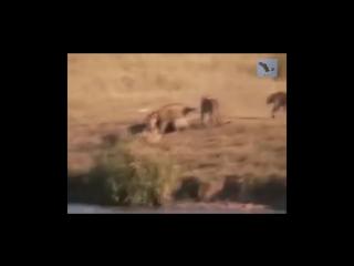 Озвучка превратила передачу о животных в остросюжетный триллер