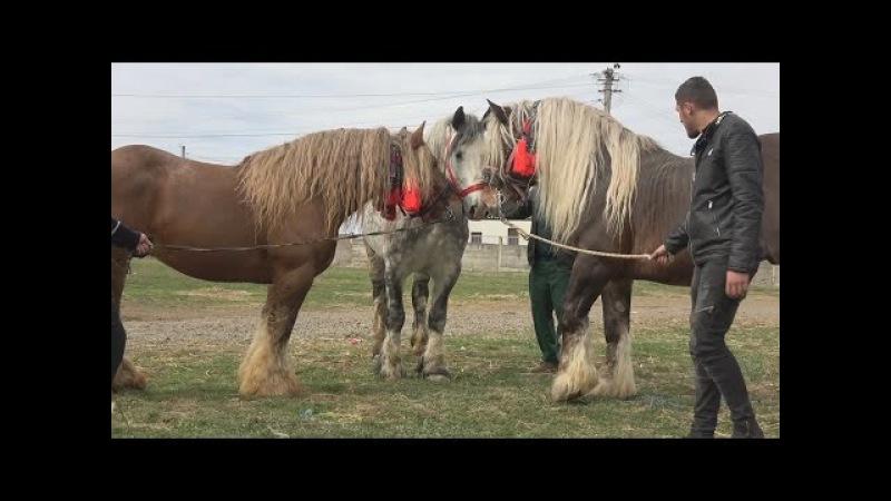 Targul de cai de la Huedin Cluj Merita Vazut