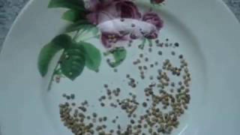 Сеем баклажаны правильно Нужна ли пикировка ПОВТОРЯЙ ЗА МНОЙ! Видеоурок от Ольги Черновой начинающ