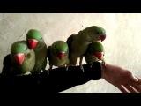 Александрийский попугай птенцы выкормыши